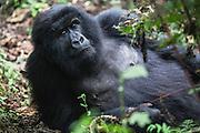 Close-up portrait of a  mountain gorilla (Gorilla beringei beringei) laying down in the forest, Parc de Volcanos, Rwanda, Africa