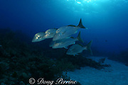 white margates ( grunts ), Haemulon album, Little Bahama Bank, Bahamas ( Western Atlantic Ocean )