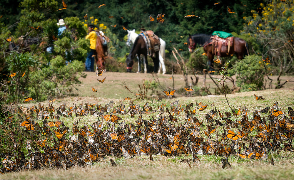 In early spring, monarchs prepare to leave Mexico as they navigate north toward Texas.