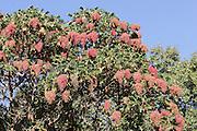 Africa, Ethiopia,Oromia Region, Bale Mountains flowering Flame Tree Peltophorum africanum