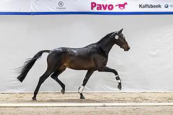 478, Nero<br /> KWPN Hengstenkeuring 2021<br /> © Hippo Foto - Dirk Caremans<br />  04/02/2021