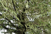 Lichen drapes a coastal tree. Drive to Arch Rock Picnic Area on US Route 101 and walk the Oregon Coast Trail to see the Pacific Ocean crashing on cliffs, along Samuel H. Boardman State Scenic Corridor, Curry County, Oregon, USA.