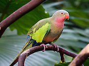 """The Princess Parrot is native Central and West Australia but today is rarely seen in the wild. It's also known as a Princess of Wales Parrot, Queen Alexandra parakeet, Spinifex parrot, Rose-Throated Parrot, or Splendor Parrot. Bloedel Conservatory, Queen Elizabeth Park, Vancouver, British Columbia, Canada. Address: 4600 Cambie St. Bloedel Conservatory is a domed lush paradise where you can experience the colors and scents of the tropics year-round, within Queen Elizabeth Park, atop the City of Vancouver's highest point. A former rock quarry has been converted into beautiful Queen Elizabeth Park with flower gardens, public art, grassy knolls. In Bloedel Conservatory, more than 200 free-flying exotic birds, 500 exotic plants and flowers thrive within a temperature-controlled environment. A donation from Prentice Bloedel built the domed structure, which was dedicated in 1969 """"to a better appreciation and understanding of the world of plants,"""" and is jointly operated by Vancouver Park Board and VanDusen Botanical Garden Association."""