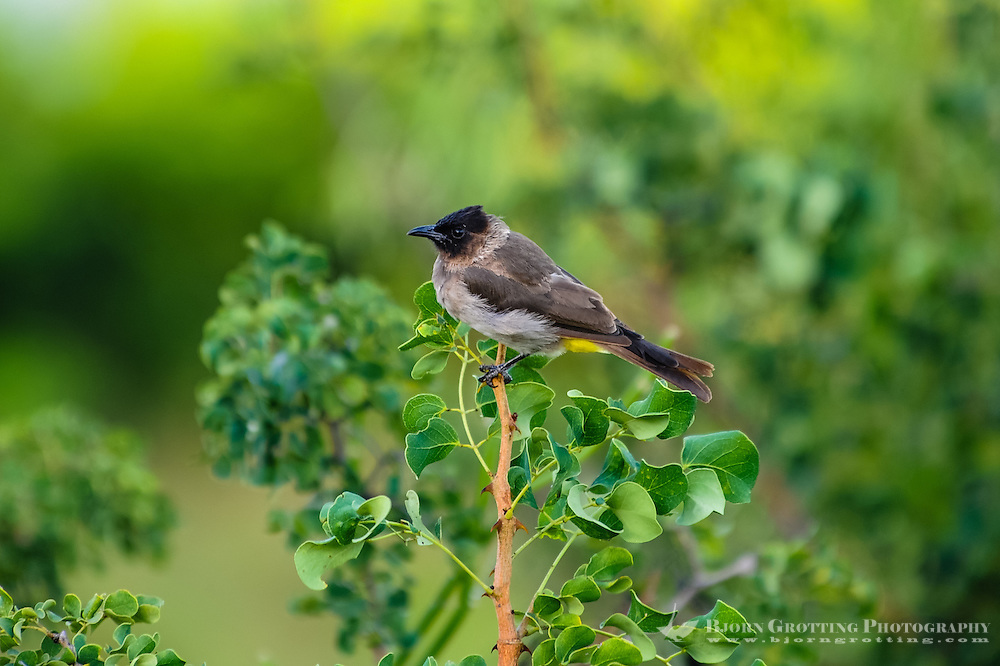 Common Bulbul at Pestana Kruger Lodge, Kruger National Park, South Africa.