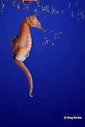 lined seahorse, spotted seahorse, northern seahorse, horsefish, or Atlantic sea horse, Hippocampus erectus,  male giving birth ( expelling fry or baby seahorses from brood pouch )