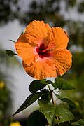 Hibicus flower, Hawaii