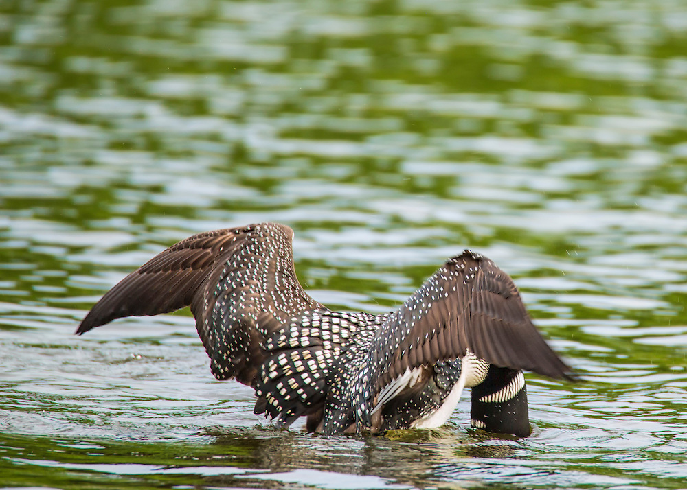 The bird needs a long distance to gain momentum for take-off, and is ungainly on landing. Its clumsiness on land is due to the legs being positioned at the rear of the body: this is ideal for diving but not well-suited for walking.