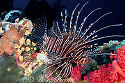 spotfin lionfish or broadbarred, <br /> banded, or ragged-finned firefish, <br /> Pterois antennata,<br /> Gato Island Marine Reserve, Philippines
