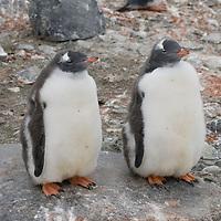 Molting Gentoo Penguin chicks on Petermann Island, Antarctica.