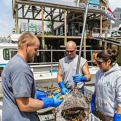 """Jim Merryman (center) is captain of the lobster boat """"Hunter James"""" and owner of Potts Harbor Lobster. His crew is William Maines and Ashley Conrad. Harpswell, Maine."""