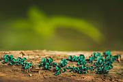 The saprobic mushroom green elfcup (Chlorociboria aeruginascens) growing on decaying wood, Vidzeme, Latvia Ⓒ Davis Ulands | davisulands.com
