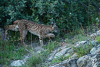 Iberian Lynx (Lynx pardinus) one year old female .Sierra de Andújar Natural Park, Mediterranean woodland of Sierra Morena, north east Jaén Province, Andalusia. SPAIN.RANGE: Iberian Peninsula of Spain & Portugal..CITES 1, CRITICAL - DANGER OF EXTINCTION.Fewer than 200 animals in the wild. There is a reduced genetic variability due to their small population. They have suffered due to hunting, habitat loss and road accidents, but the most critical threat today is the reduced numbers of wild Rabbits (Oryctolagus cuniculus) within the lynx's range. The rabbits are the principal food source of the lynx and they are suffering from deseases such as Myxomatosis & Rabbit haemoragic virus. The lynx is also suffering from deseases such as feline leukaemia.A medium sized cat weighing 12-15kgs, Body length 90cm, Shoulder height 45-50cm. They have a mottled fur pattern, (3 varieties of fur pattern found between the different populations and distinguishing them geographically)  short tail, ear tufts and are bearded. They are territorial cats although female cubs have been found to share their mother's territory. Mating occurs in Dec/Jan and cubs born around April. They live up to 13 years...Mission: Iberian Lynx, May 2009