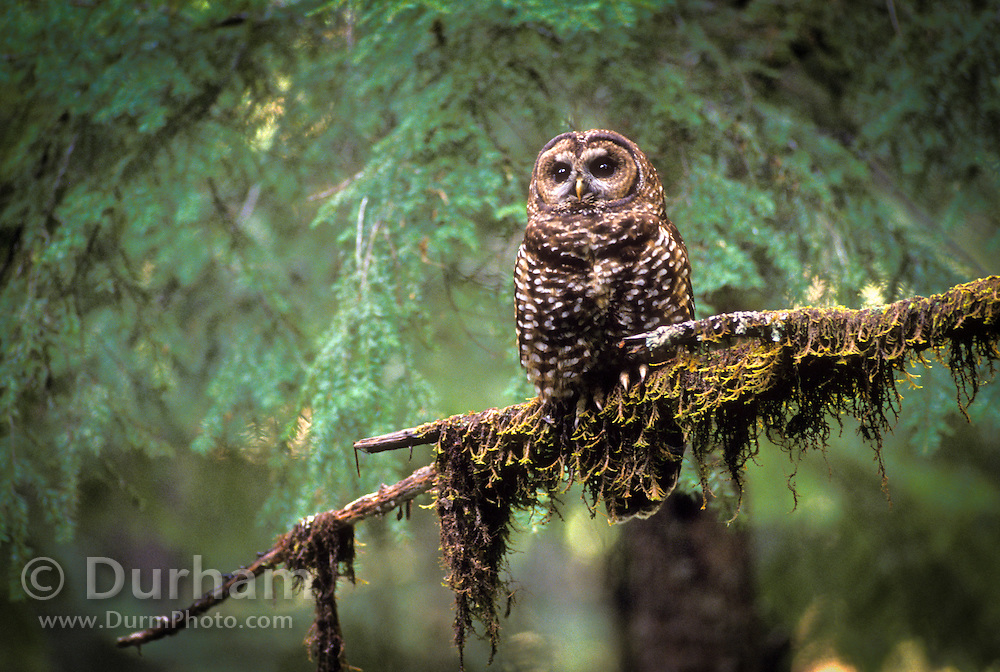 A northern spotted owl (Strix occidentalis) in old growth forest. Umpqua National Forest, Oregon.