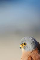 Lesser kestrel, Falco naumanni, La Serena, Extremadura, Spain
