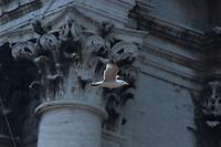 herring gull (Larus argentatus) in Vatican's garden, Rome, Italy