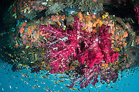 Soft Corals, Sea Fans, and Damsels thrive under a floating dock.  Note that almost all of the fish are swimming upside down, oriented to the underside of the dock.<br /> <br /> Shot in Indonesia