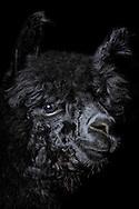 """Alpaca (Hyacaya) (Lama pacos), black alpaca. Alpaca is a domesticated species of South American camelid. Alpacas are kept in herds on the level heights of the Andes and were bred specifically for their fiber. There are two types of alpacas, the Huacaya and the Suri. They differ in the structure of fiber: The Huacaya alpaca has a fine, uniformly crimped fiber (crimp) and few guard hairs (top hairs), which are very fine. The animals are usually shorn once a year. The raw wool can be make into high-quality alpaca yarn. Also in Germany are held increasingly more alpacas, partly as a hobby, some for breeding. There is a worldwide demand for alpaca wool in textile industry. Apart from silk and cashmere alpaca fiber is one of the most precious natural fibers. Softness, delicacy and an indescribable brilliance made it so popular. Today there are more than 22 natural colors of alpaca fiber. In colors from a deep black, brown, gray or pinkish gray to pure white. Alpaca wool has the best thermal properties. The inside hollow fibers stored body heat at cold. Meeden, Menterwolde, Groningen, the Netherlands.This picture is part of the series """"Creature's Coiffure""""..Alpaka (Hyacaya) (Lama pacos) Portrait eines schwarzen Alpakas. Das Alpaka ist eine aus den suedamerikanischen Anden stammende, domestizierte Kamelform, die vorwiegend ihrer Wolle wegen gezuechtet wird. Es gibt zwei Alpakatypen, das Huacaya und das Suri. Sie unterscheiden sich in der Struktur ihrer Faser: Das Huacaya-Alpaka hat eine feine, gleichmaessig gekraeuselte Faser (Crimp) und einige Grannenhaare (Deckhaare), die sehr fein sind. Die Tiere werden in der Regel einmal jaehrlich geschoren. Die Rohwolle kann zu hochwertigem Alpakagarn verarbeitet werden. Auch in Deutschland werden zunehmend mehr Alpakas gehalten, teils als Hobby, teils zur Zuechtung. Die Alpakawolle ist weltweit von der Textilindustrie sehr begehrt. Die Faser zaehlt neben Kaschmir und Seide zu den edelsten Naturfasern. Weichheit, Feinheit und ein unbe"""