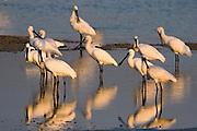Common Spoonbill (Platalea leucorodia) flock stands in water, north Israel