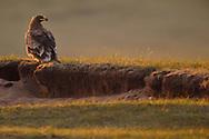 Steppe Eagle, Aquila nipalensis, Bayanbulagu Gatcha, sitting on ground at grassland steppe, Inner Mongolia, China
