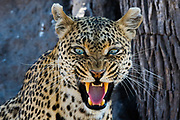 A leopard, Panthera pardus, snarling and looking at the camera.