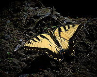 Yellow Swallowtail Butterfly Getting Some Sodium/Salt From the Mud Near a Pond at the Sourland Mountain Reserve. Image taken with a Nikon D3s and 80-400 mm VR II lens (ISO 1000, 400 mm, f/11, 1/2000 sec). Raw image processed with Capture One Pro, Focus Magic, Nik Define, and Photoshop CC.