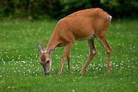 Doe Covered with Flies Eating Clover. Early Summer Nature in New Jersey. Image taken with a Nikon D3 and 500 mm f/4 lens (ISO 200, 500 mm, f/4, 1/500 sec). Raw image processed with Capture One Pro 6, Focus Magic, Nik, and Photoshop CS5.