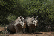 White Rhinoceros (Ceratotherium simum) resting at mid day<br /> Private Game Reserve<br /> SOUTH AFRICA<br /> RANGE: Southern & East Africa<br /> ENDANGERED SPECIES