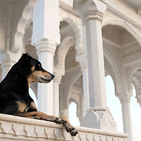 A dog takes a royal pose at the Gaitores in Jaipur, where the kings are cremated.<br /> Photo by Shmuel Thaler <br /> shmuel_thaler@yahoo.com www.shmuelthaler.com