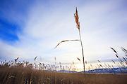 Wheat Grass on near Canyon Ferry Lake, Montana.