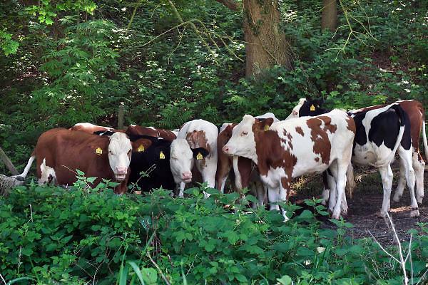 Nederland, Ubbergen, 23-5-2012Een groep pinken, jonge koeien, koeien zoekt beschutting tegen de warmte van de zon in de schaduw. Foto: Flip Franssen/Hollandse Hoogte
