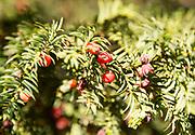Close up red berries English yew tree, Taxus baccata, Yatesbury, Wiltshire, England, UK