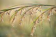 Grasses in morning sunrise, with mist droplets, Corbett National Park, Uttarakhand, Oldest National Park in India, named after Jim Corbett hunter turned conservationist, Northern India