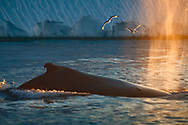 The relationship between whales and marine birds is an excellent example of a symbiotic commensalism. Very often, seabirds and marine mammals forage in the same patches of water. The birds take advantage of whales' feeding behaviours to catch some prey of their own.