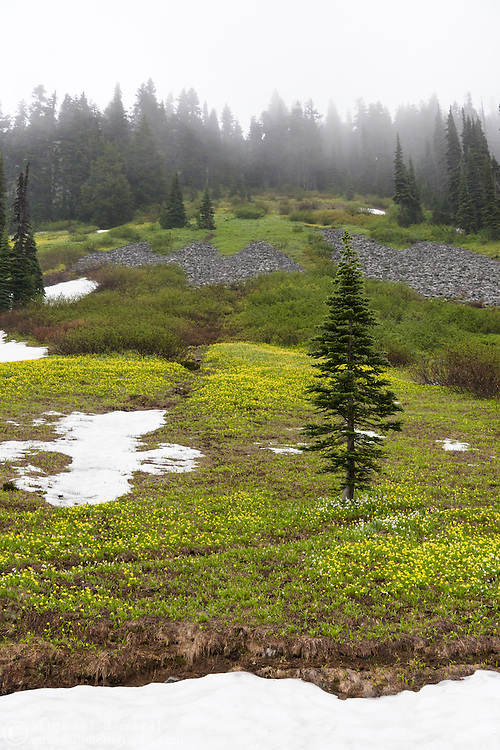 Avalanche Lilies (Erythronium montanum) growing at Mazama Ridge in Mount Rainier National Park, Washington State, USA