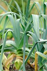 Prei, Allium ampeloprasum var. porrum