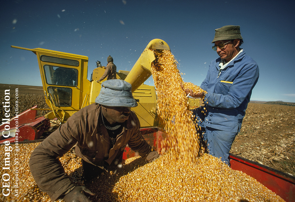 Farmers use a combine to harvest field corn for cattle.