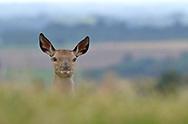 Red Deer - Cervus elaphus - doe