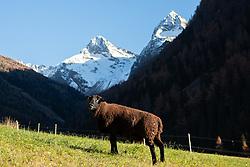 THEMENBILD - eine Schafherde auf einer Weide in Oberlesach. Im Hintergrund Berggipfel in der Schobergruppe Glödis, Ganot. Kals am Grossglockner am Sonntag 08. November 2020 // a flock of sheep on a pasture in Oberlesach. In the background summits of Schobergruppe with Gloedis and Ganot. Kals am Grossglockner on Sunday 08. November 2020. Kals am Grossglockner on Sunday 08. November 2020. EXPA Pictures © 2020, PhotoCredit: EXPA/ Johann Groder