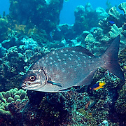 Bermuda-Gray Chub, visually cannot be reliably distinguished, inhabit reefs and adjacent areas in Tropical Atlantic, also circumtropical; picture taken Utila, Honduras.