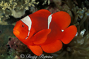 spinecheek anemone fish, or spine-cheek anemonefish, Premnas biaculeatus, in anemone, Entacmea quadricolor, Kimbe Bay, Papua New Guinea ( Bismarck Sea )