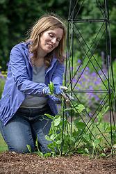 Tying in sweet peas on an obelisk