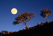 Curlleaf mountain mahogoany (Cercocarpus ledifolius) trees and moon, Hart Mountain National Wildlife Refuge, Oregon. The moon is a double exposure.