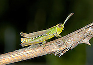 Meadow Grasshopper, Male - Chorthippus parallelus