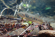 Westslope Cutthroat Trout (Juvenile)<br /> <br /> Todd Pearsons/Engbretson Underwater Photography