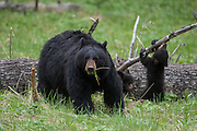 Black bear sow with cub in the Greater Yellowstone Ecosystem
