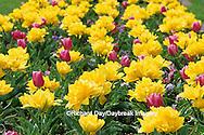 65021-02707 Yellow rose Tulips (Tulipa sp) MO Botanical Garden, St Louis MO