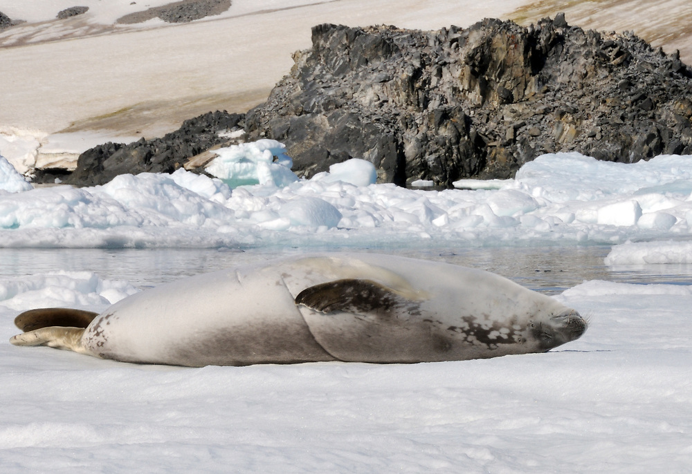 A Crabeater Seal (Lobodon carcinophaga or carcinophagus)   lounges on its back on an ice floe in Hope Bay. Hope Bay,  Trinity Peninsula,  Antarctic Pe