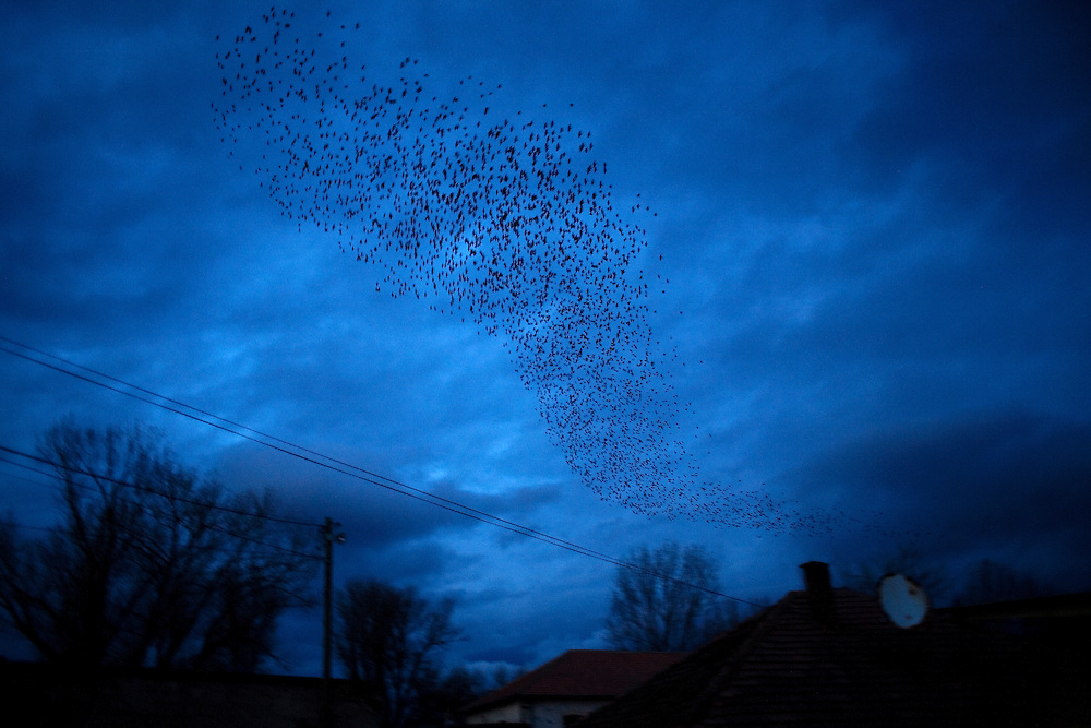 The famous black birds of Kosovo in flight over Mitrovica on the night of the first anniversary of Kosovo's independence from Serbia. February 2009.