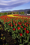 Tulips, Kelowna, B.C., Canada<br />