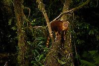 A Goodfellow's Tree Kangaroo (Dendrolagus goodfellowi pulcherrimus) crosses a fallen log bridging a small gorge.<br /><br />Endangered Species (IUCN Red List: EN)<br /><br />Camera trap shot.
